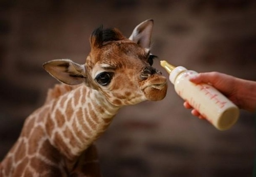 Newborn-Giraffe-wild-animals-5199624-500-347