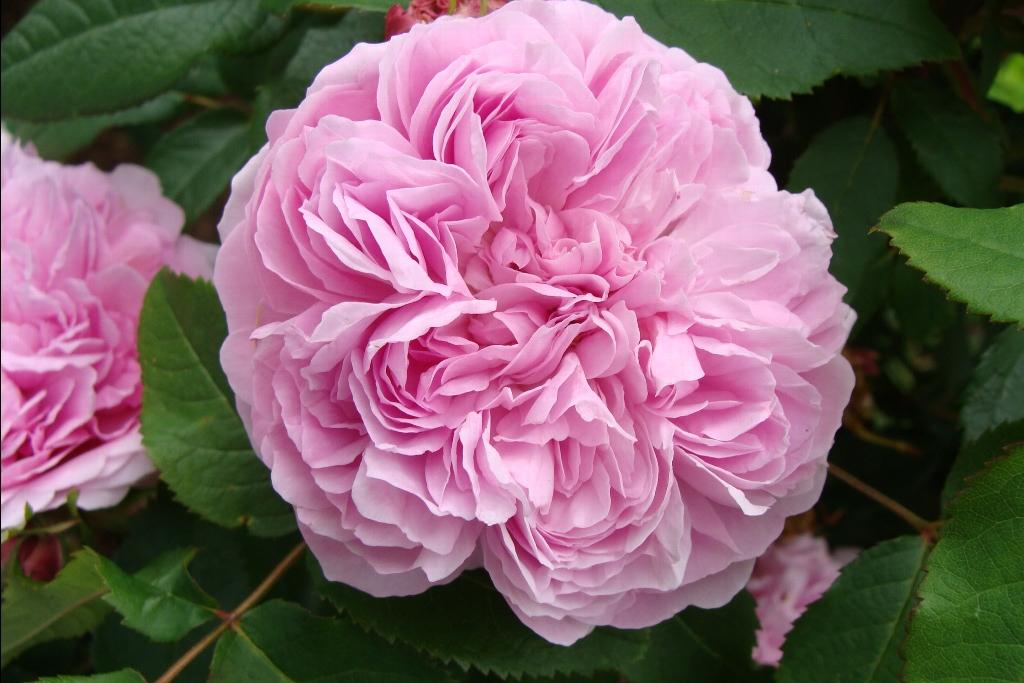 rosa jaques cartier