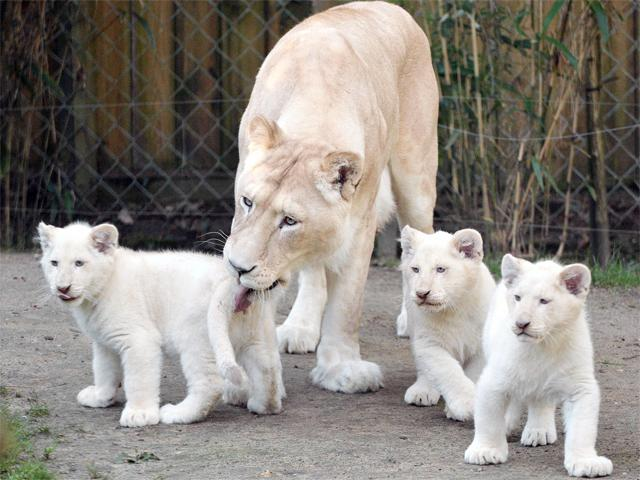 white-lion-cubs-with-mother