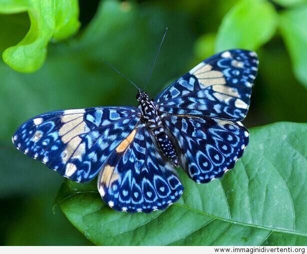 farfalla-azzurra-sulla-foglia