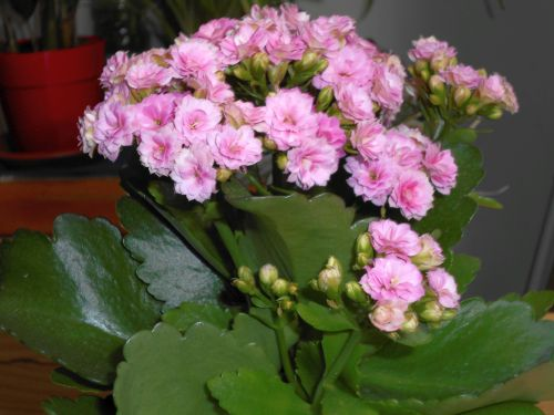 fiorellini celesti