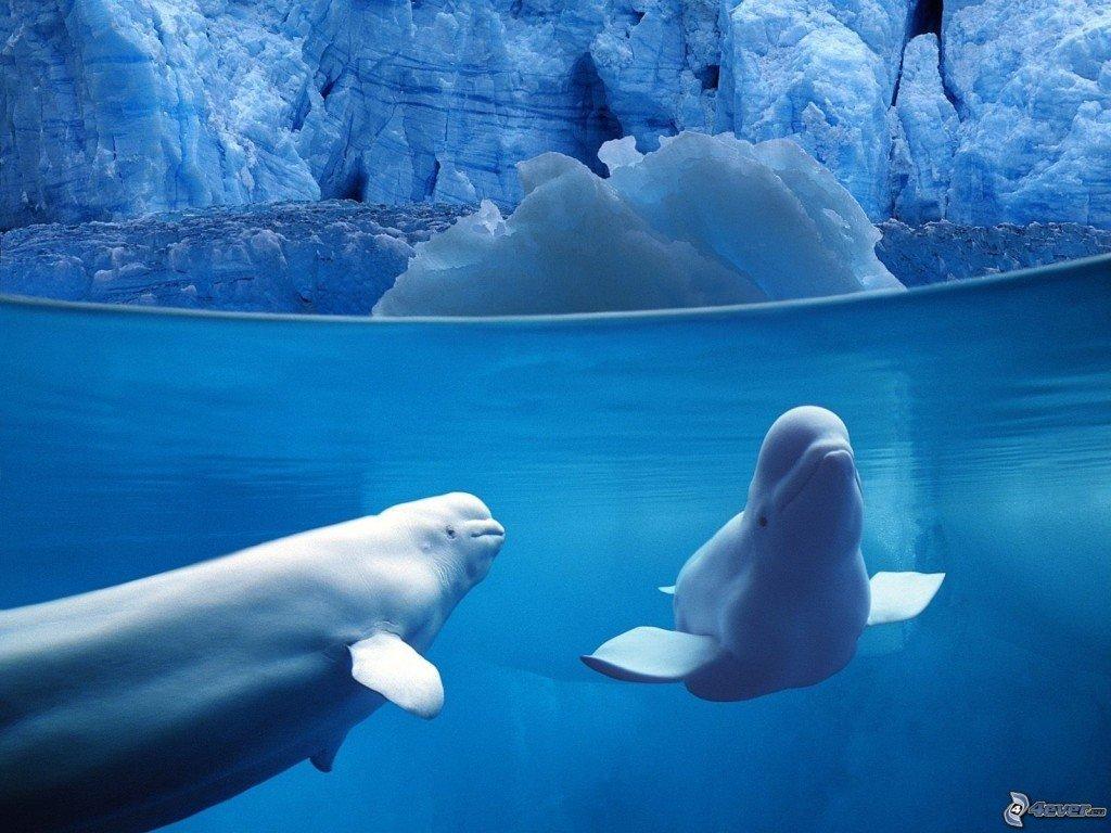 balena-bianca,-balena,-ghiaccio,-mare-149980
