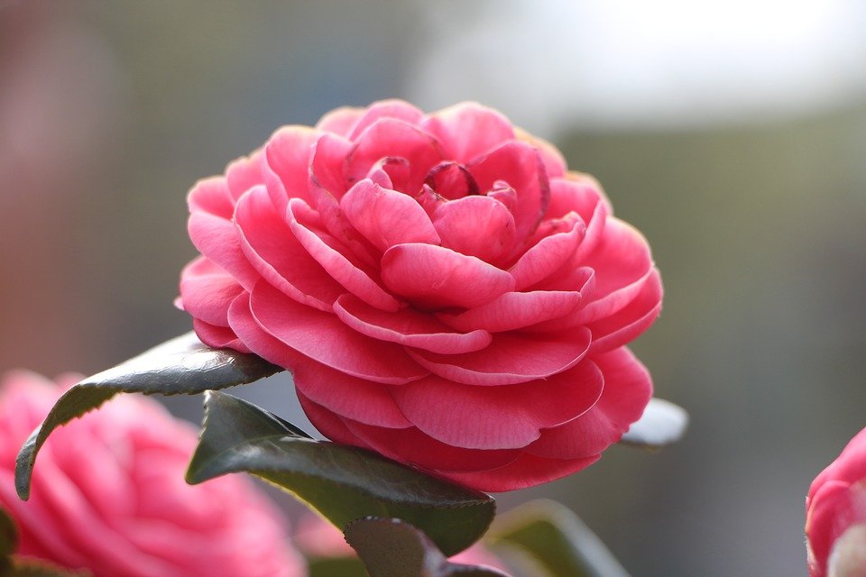 camellia-flower-1318165_960_720