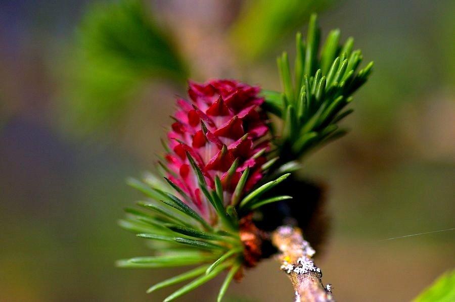 fleur de mélèze - fiore di larice