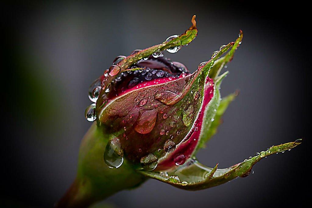 rose-rain-drip-raindrop