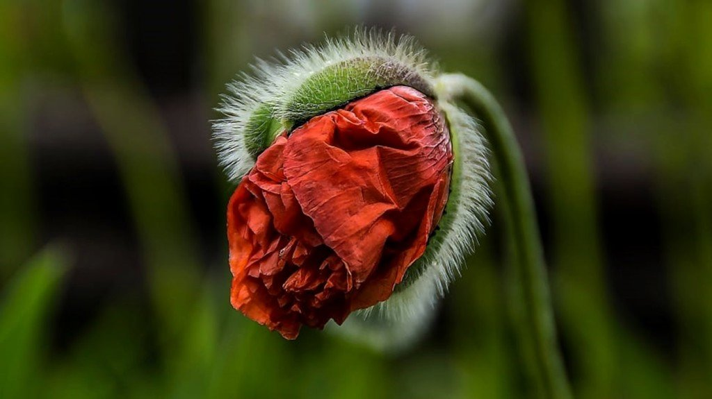 garden-bloom-blossom-red-poppy-poppy