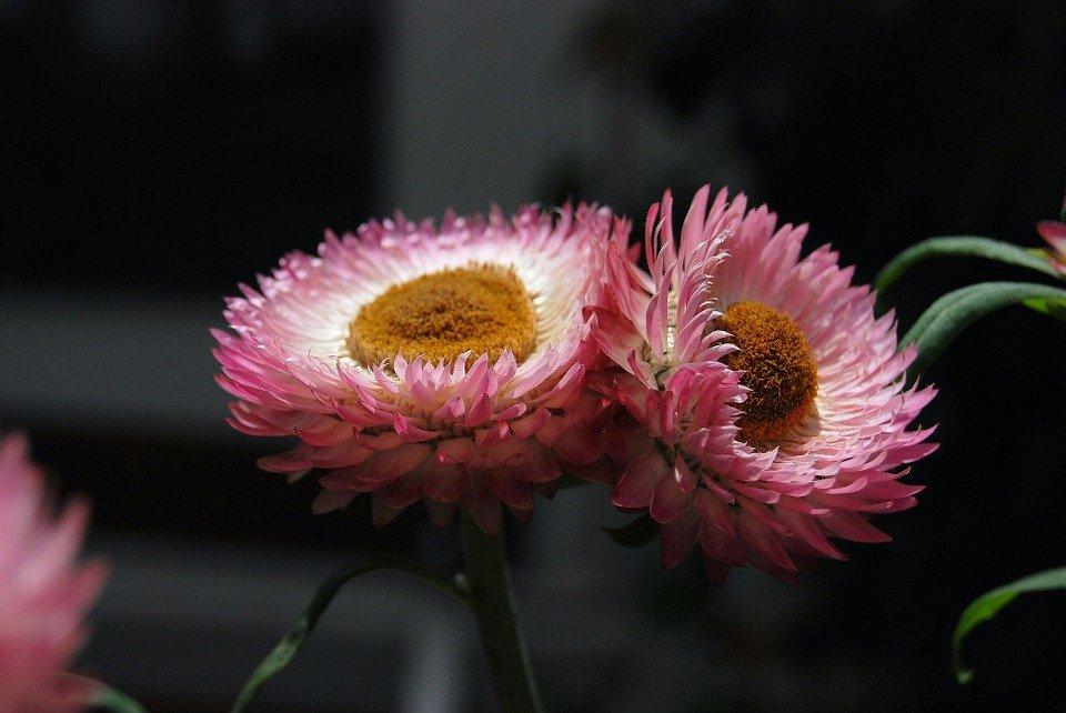helichrysum-succulente