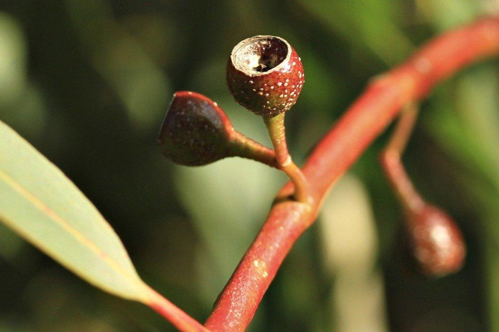 Eucalyptus-pauciflora-flora-ala-source