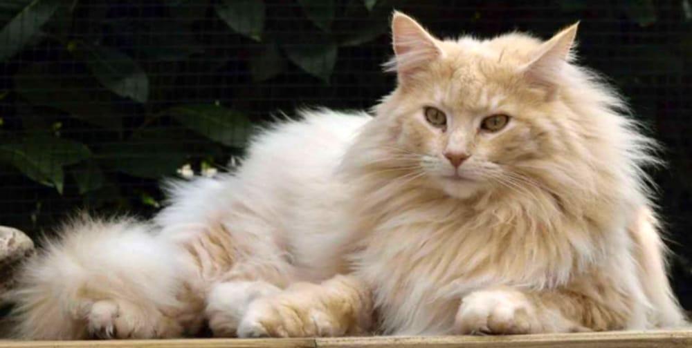 gatto norvegese delle foreste doc-2
