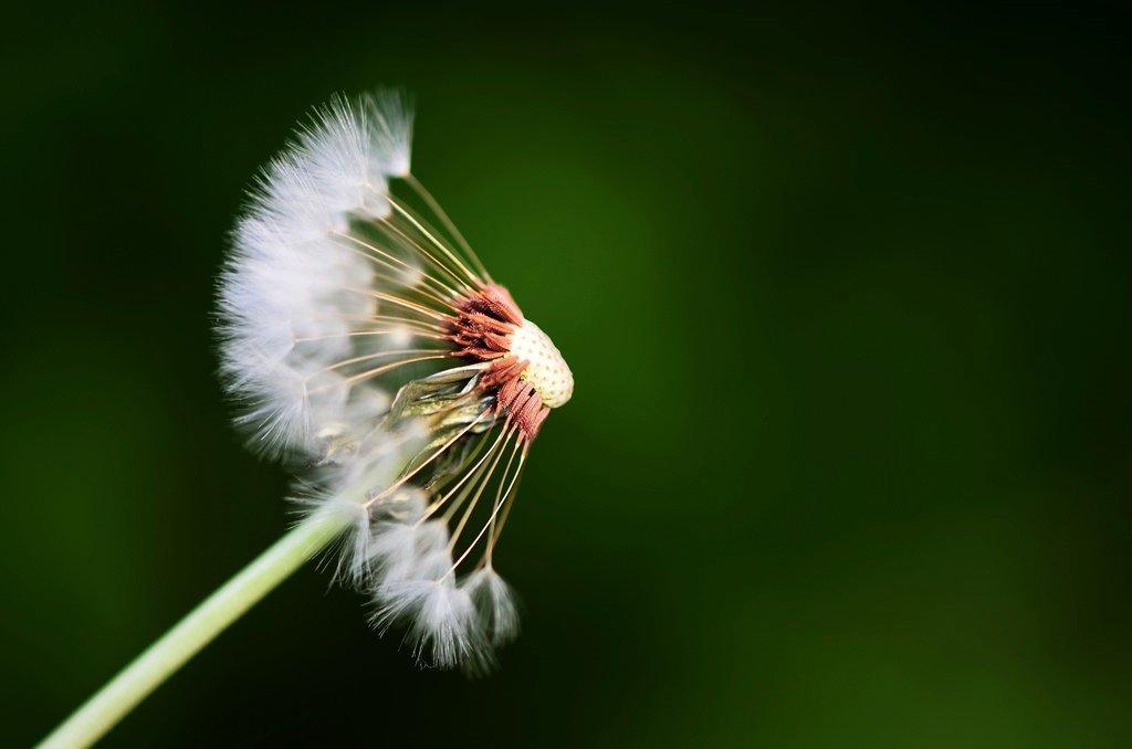 dandelion tarassaco o bocca di leone o soffione