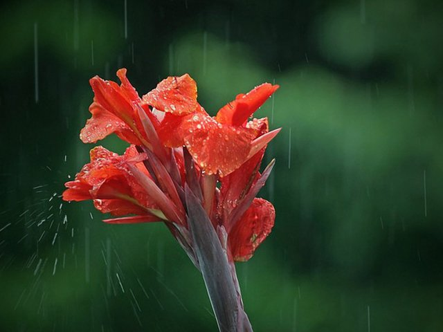 Nature___Flowers_Flower_in_the_rain_078677_29