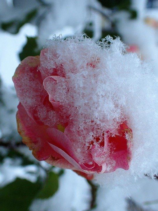 rose-2890710_960_720