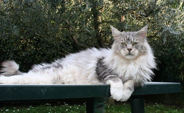 maine-coon-planetcoon