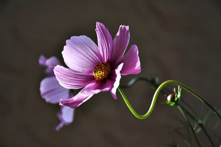 bloom-blossom-cosmos-flora
