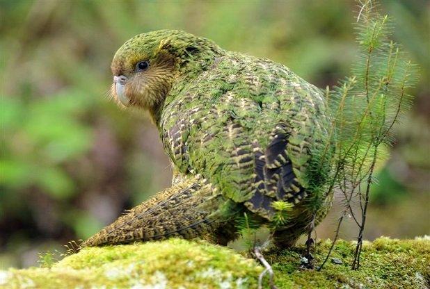 Kakapo-Strigops-habroptila..
