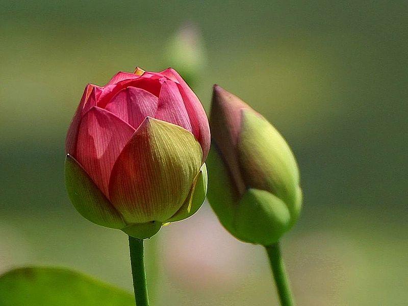 800px-Flowers_buds