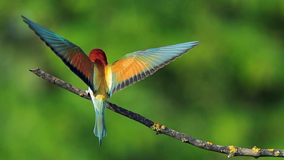 604730615-essere-vivente-uccelli-del-paradiso-nutrire-cura-della-nidiata-bulgaria