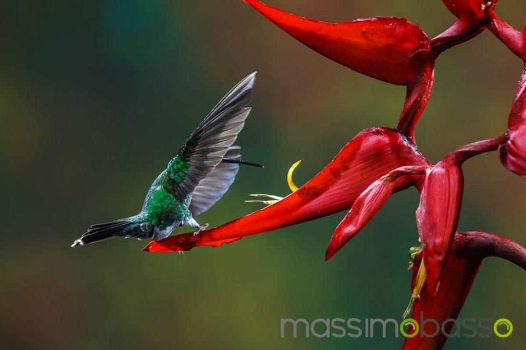 Fotografie-colibrì-Costa-Rica-Massimo-Basso-2684-1050x700