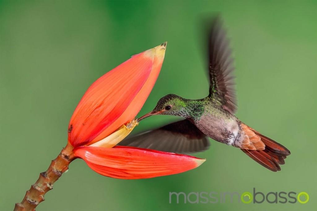 Fotografie-colibrì-Costa-Rica-Massimo-Basso-_-1050x700