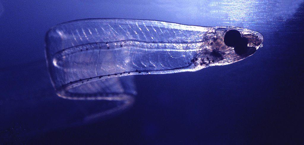 LeptocephalusConger-i pesci trasparenti diario