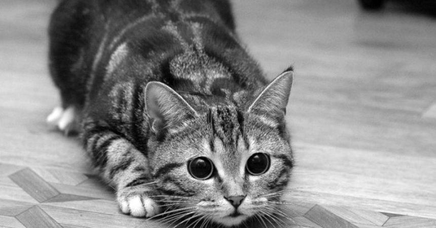gatto-che-punta-la-preda-860x450_c