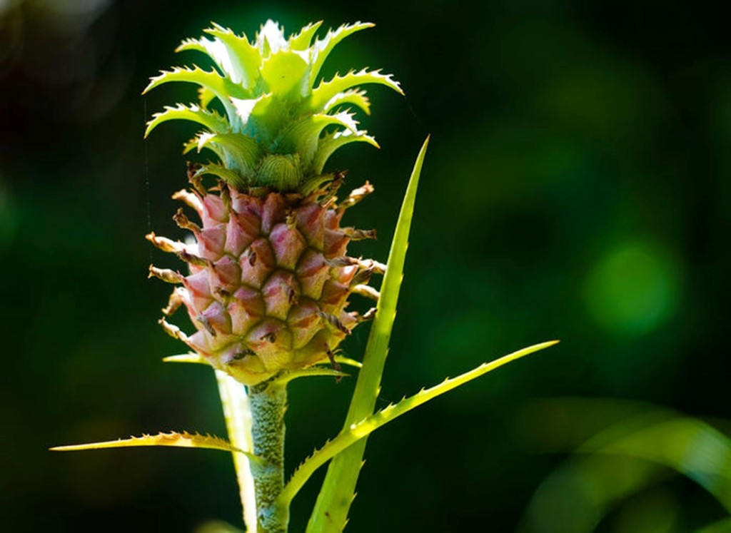 pinapple flower bud
