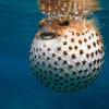 pesci palla…attenzione alcuni sono velenosi (link ad un articolo su Focus)